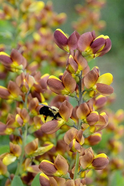 Cherries Jubilee Baptisia (False Indigo) - 1 Gallon Pot