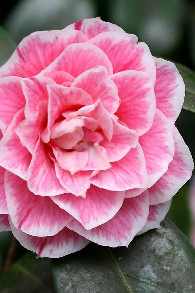 Brilliant Gem Fragrant Camellia Japonica - Herme - 3 Gallon Pot
