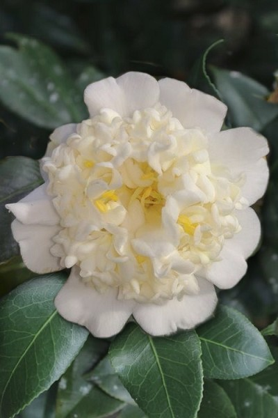 Shiro Karako White Camellia Rusticana - 3 Gallon Pot