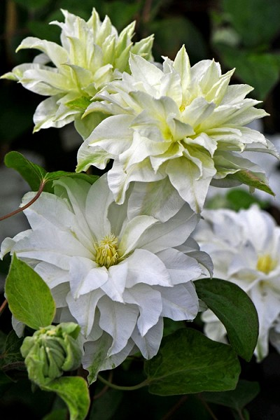 Arctic Queen Clematis - 1 Gallon Pot