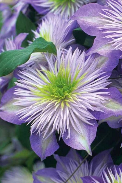 Crystal Fountain Clematis - 1 Gallon Pot