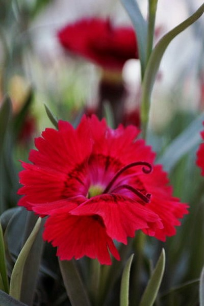 Fire Star Dianthus (Carnation) - 1 Gallon Pot
