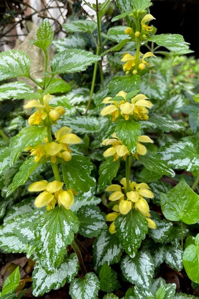 Yellow Archangel (Lamiastrum galeobdolon) - 10 Pack of Pint Pots