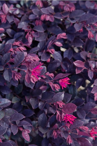 Purple Daydream Dwarf Loropetalum - 2 Gallon Pot