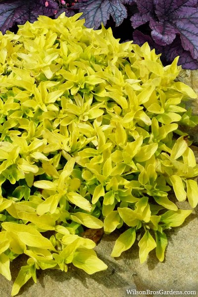 Golden Oregano - 5 Count of Quart Pots