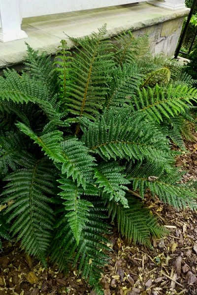 Tassel Fern - Polystichum polyblepharum - 5 Count of Quart Pots