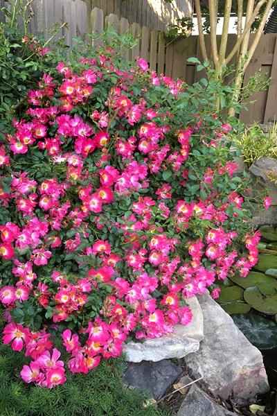 Pink Drift Groundcover Rose - 2 Gallon Pot